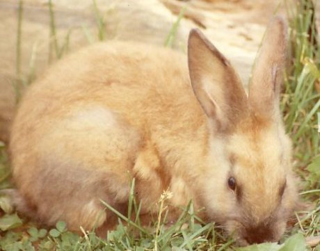 Cute bunny-rabbit, Chena Hot Springs, AK, 1991